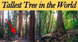 world tallest tree hyperion tree