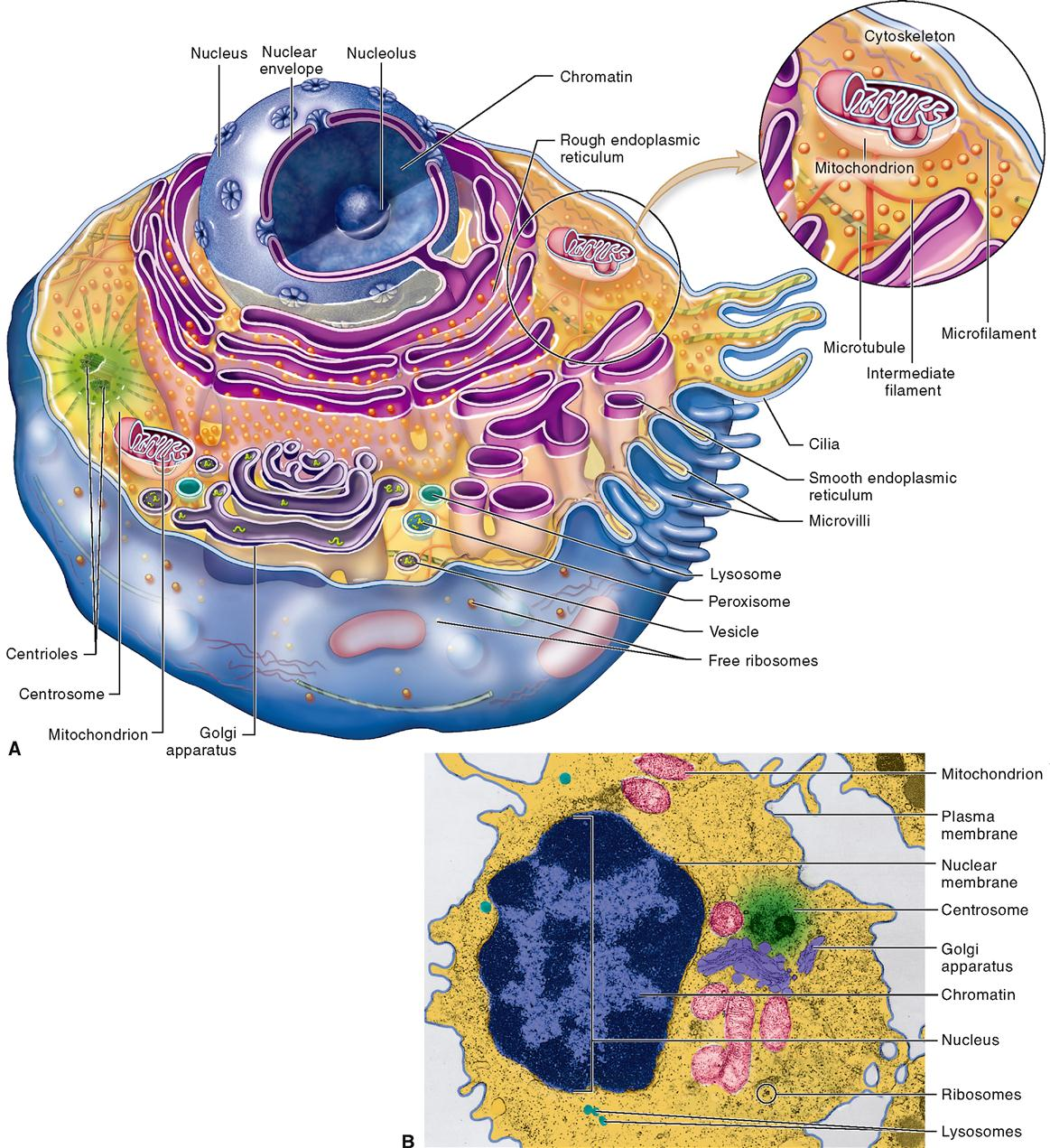 composite cell diagram iota i 24 emergency ballast wiring anatomy of cells basicmedical key