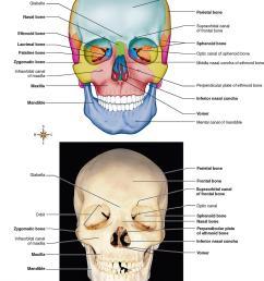 figure 9 2 anterior view of the skull  [ 1078 x 1334 Pixel ]