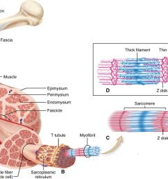figure 12 1 structure of skeletal muscle a skeletal muscle organ composed of bundles of contractile muscle fibers held together by connective tissue  [ 1103 x 728 Pixel ]