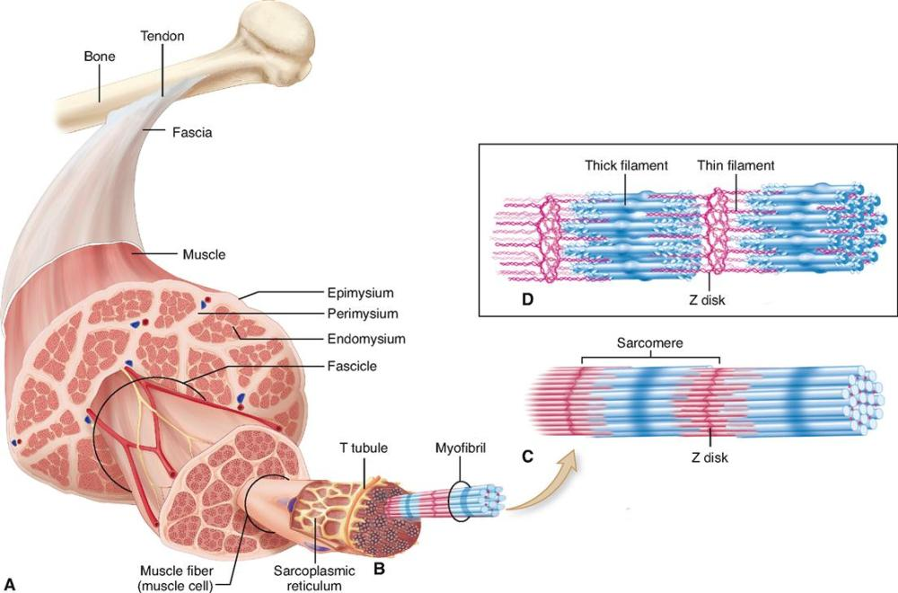 medium resolution of figure 12 1 structure of skeletal muscle a skeletal muscle organ composed of bundles of contractile muscle fibers held together by connective tissue