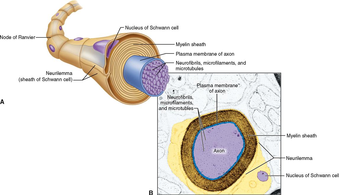 diagram of a section cell membrane ptc relay wiring nervous system cells | basicmedical key