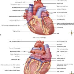 Anatomical Heart Diagram Posterior 1978 Honda Cb750 Wiring Anatomy Of The Cardiovascular System Basicmedical Key