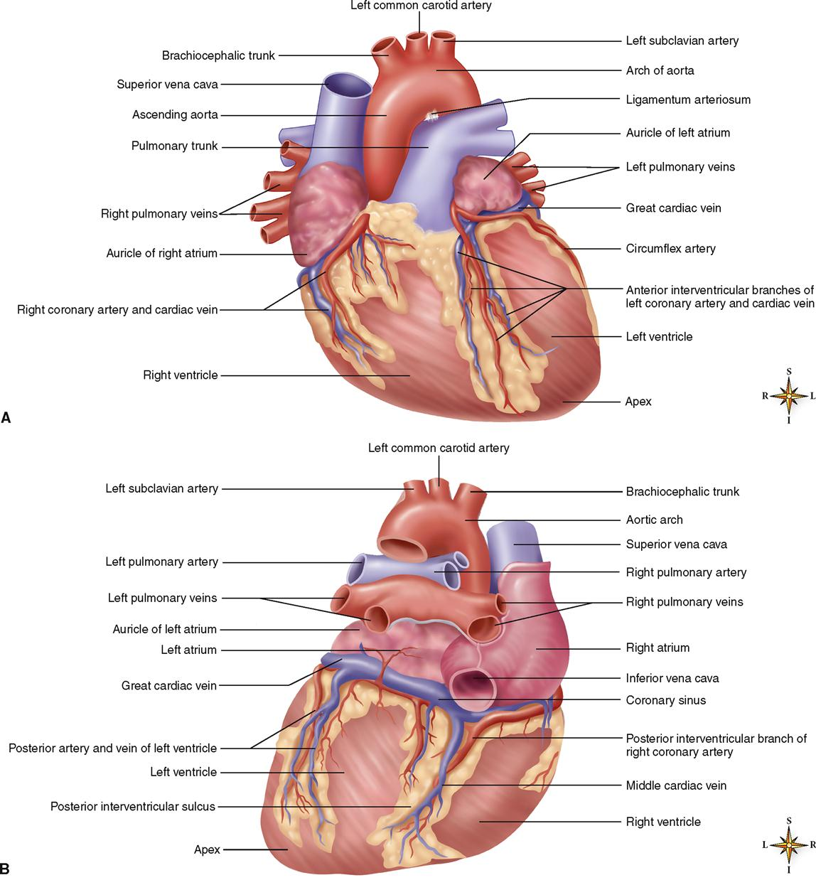anatomical heart diagram posterior traxxas revo 3 parts anatomy of the cardiovascular system basicmedical key