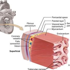 Heart Diagram Outside Ford Focus Wiring 2005 Anatomy Of The Cardiovascular System   Basicmedical Key