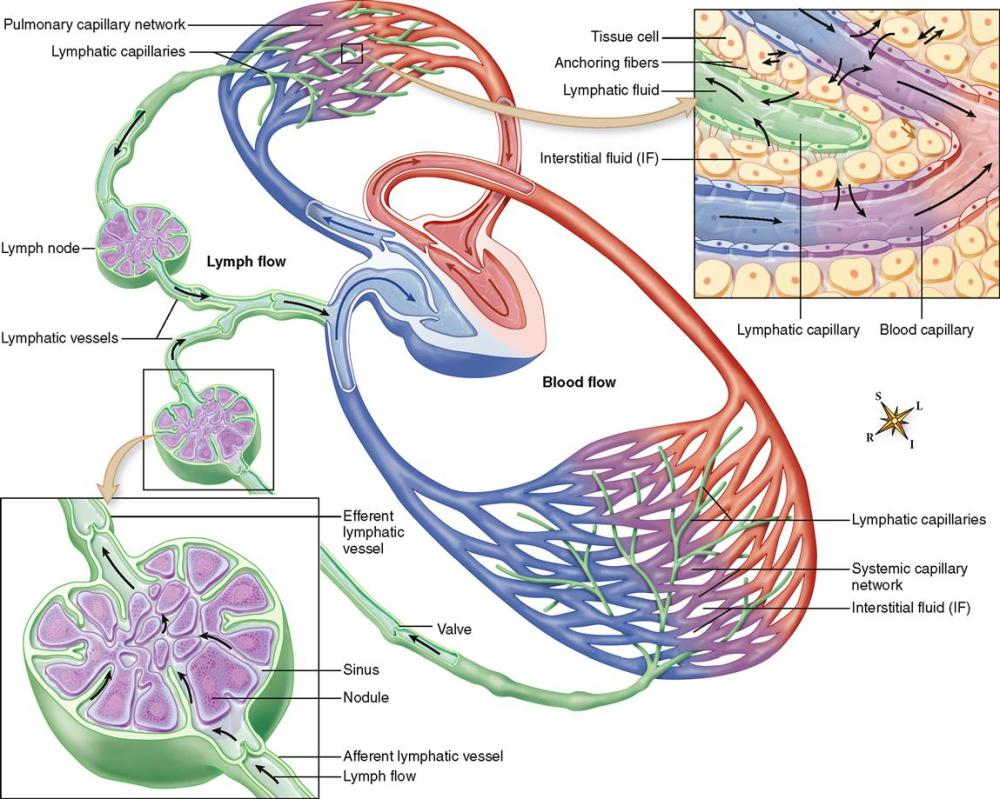medium resolution of chest lymph nodes diagram
