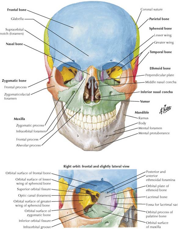 Anatomy Mastoid Process Skull
