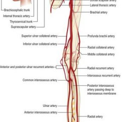 Arm Bones And Muscles Diagram Narva Relay Wiring Pectoral Girdle Upper Limb: Overview Surface Anatomy | Basicmedical Key