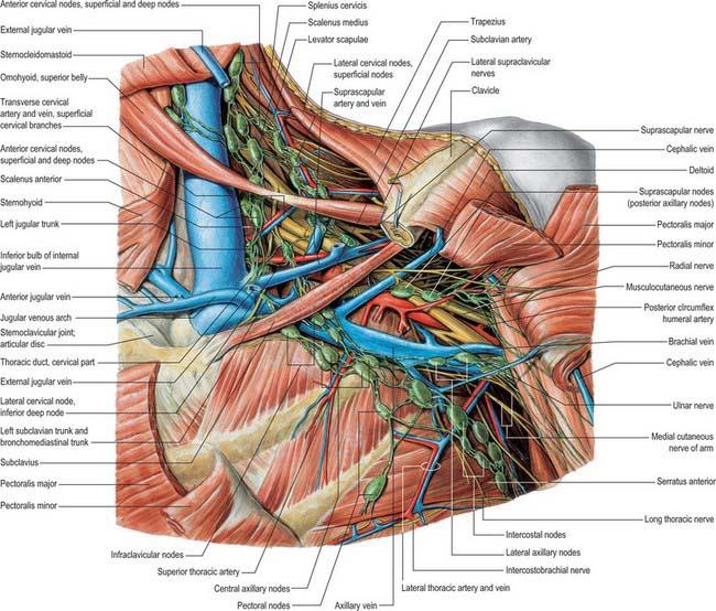 Pectoral girdle, shoulder region and axilla | Basicmedical Key