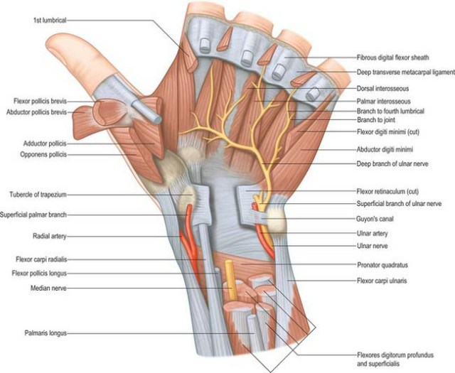 Wrist and hand | Basicmedical Key
