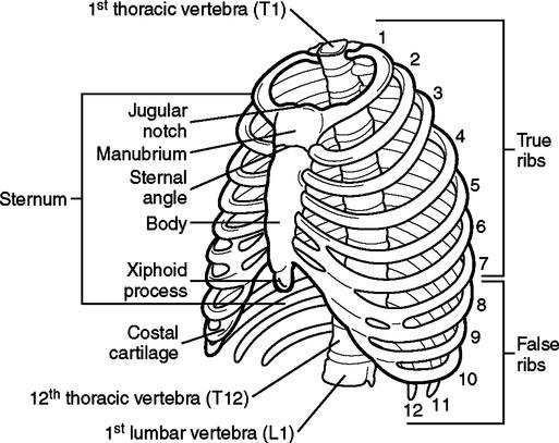 Jugular Notch Of Sternum