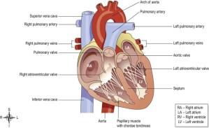 The cardiovascular system | Basicmedical Key