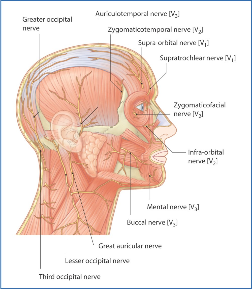 medium resolution of figure 4 1 nerves of the scalp and face lateral view