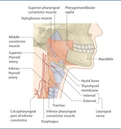 figure 10 2 pharyngeal constrictor muscles  [ 1156 x 1162 Pixel ]