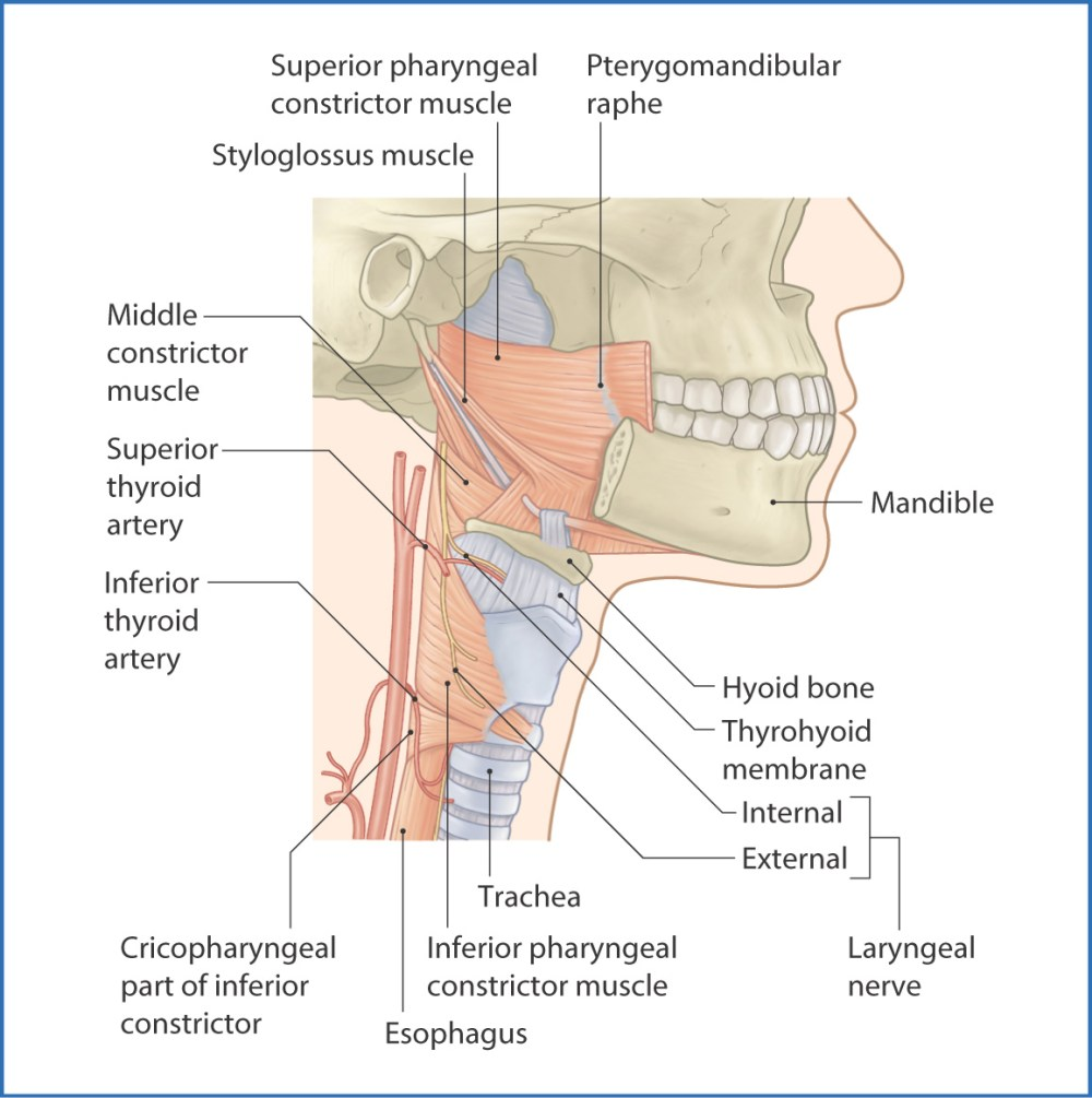 medium resolution of figure 10 2 pharyngeal constrictor muscles