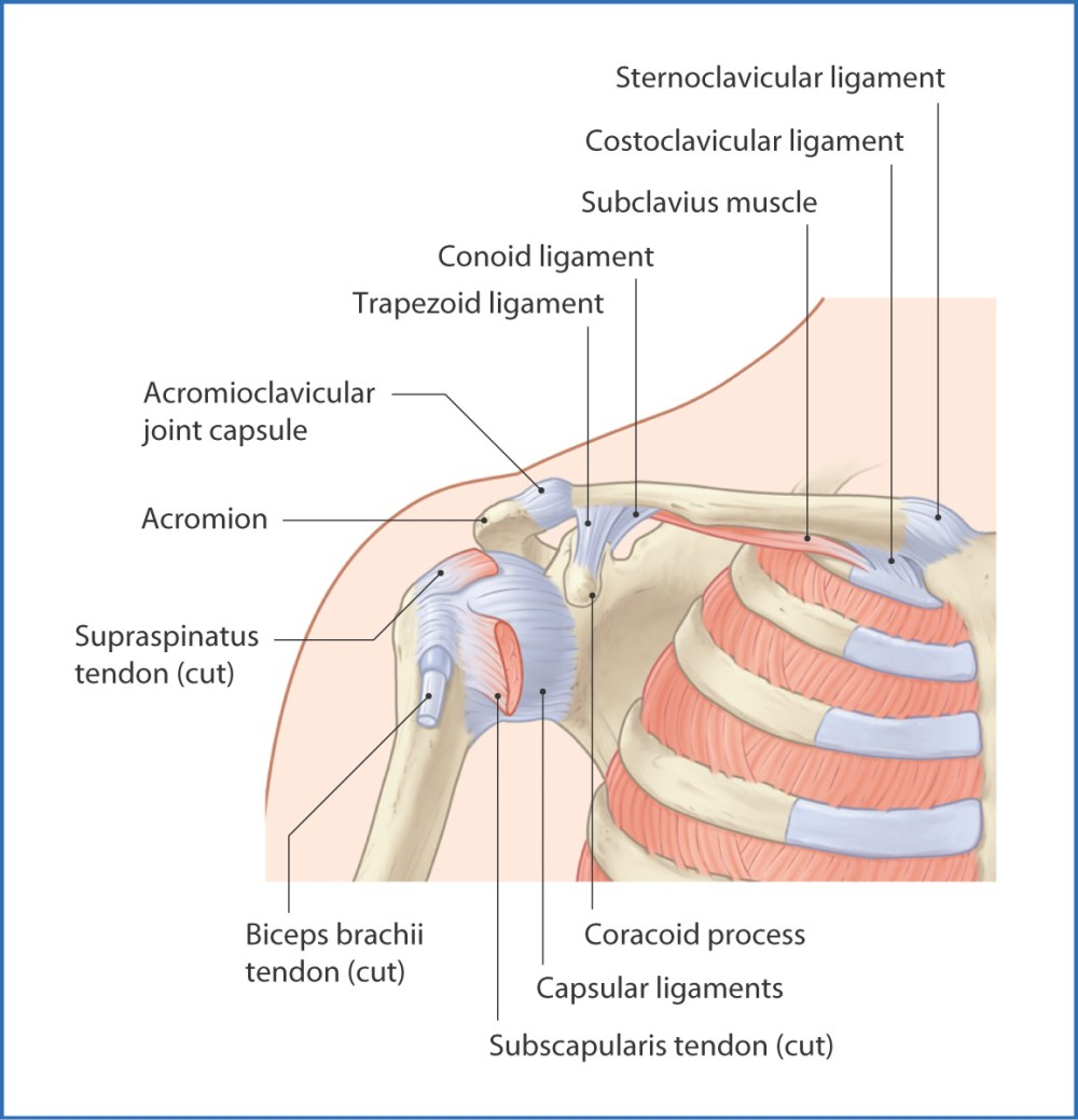 medium resolution of figure 18 1 glenohumeral joint anterior view