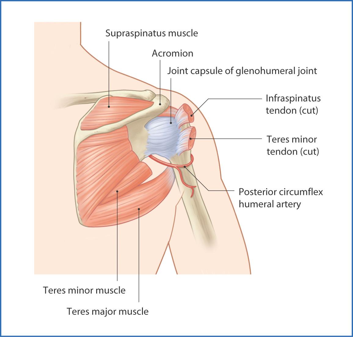 Shoulder Complex | Basicmedical Key