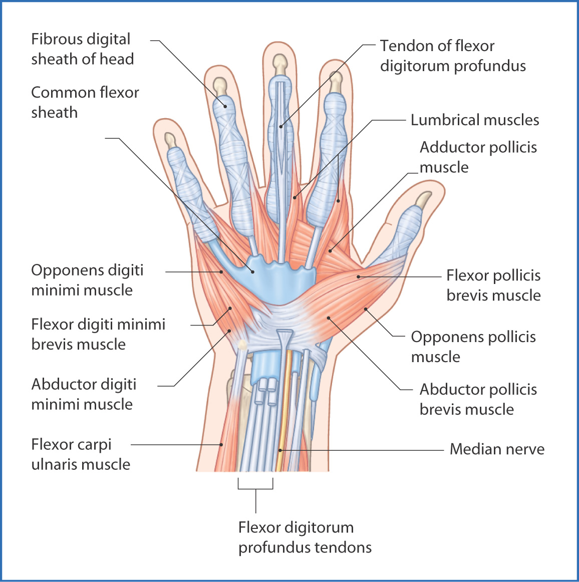 muscle diagram anterior hand toyota 4runner wiring muscles basicmedical key