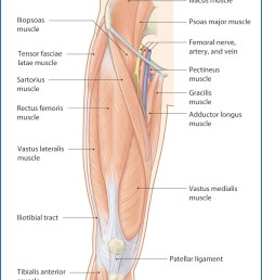 figure 40 1 muscles of the thigh anterior view  [ 1157 x 1470 Pixel ]