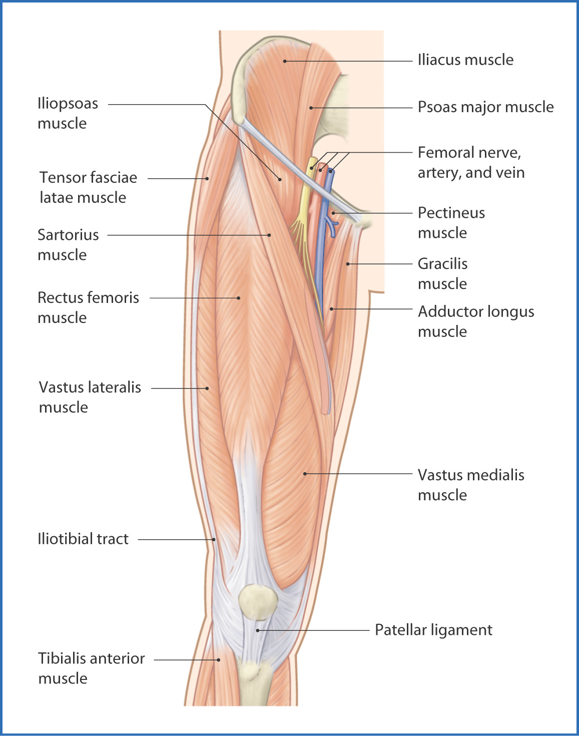 hight resolution of figure 40 1 muscles of the thigh anterior view