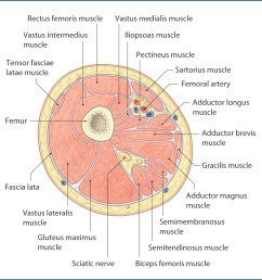 figure 40 2 cross section of the right thigh viewed from distal to proximal  [ 1156 x 1150 Pixel ]
