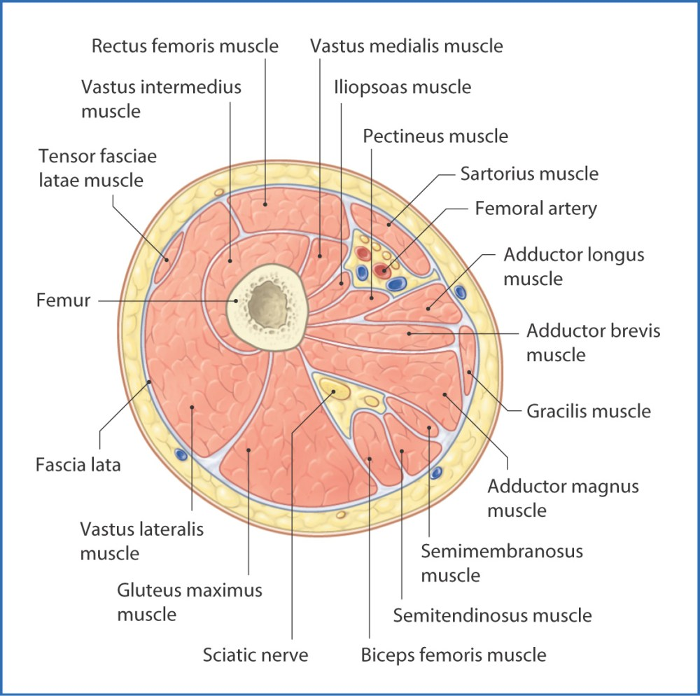 medium resolution of figure 40 2 cross section of the right thigh viewed from distal to proximal