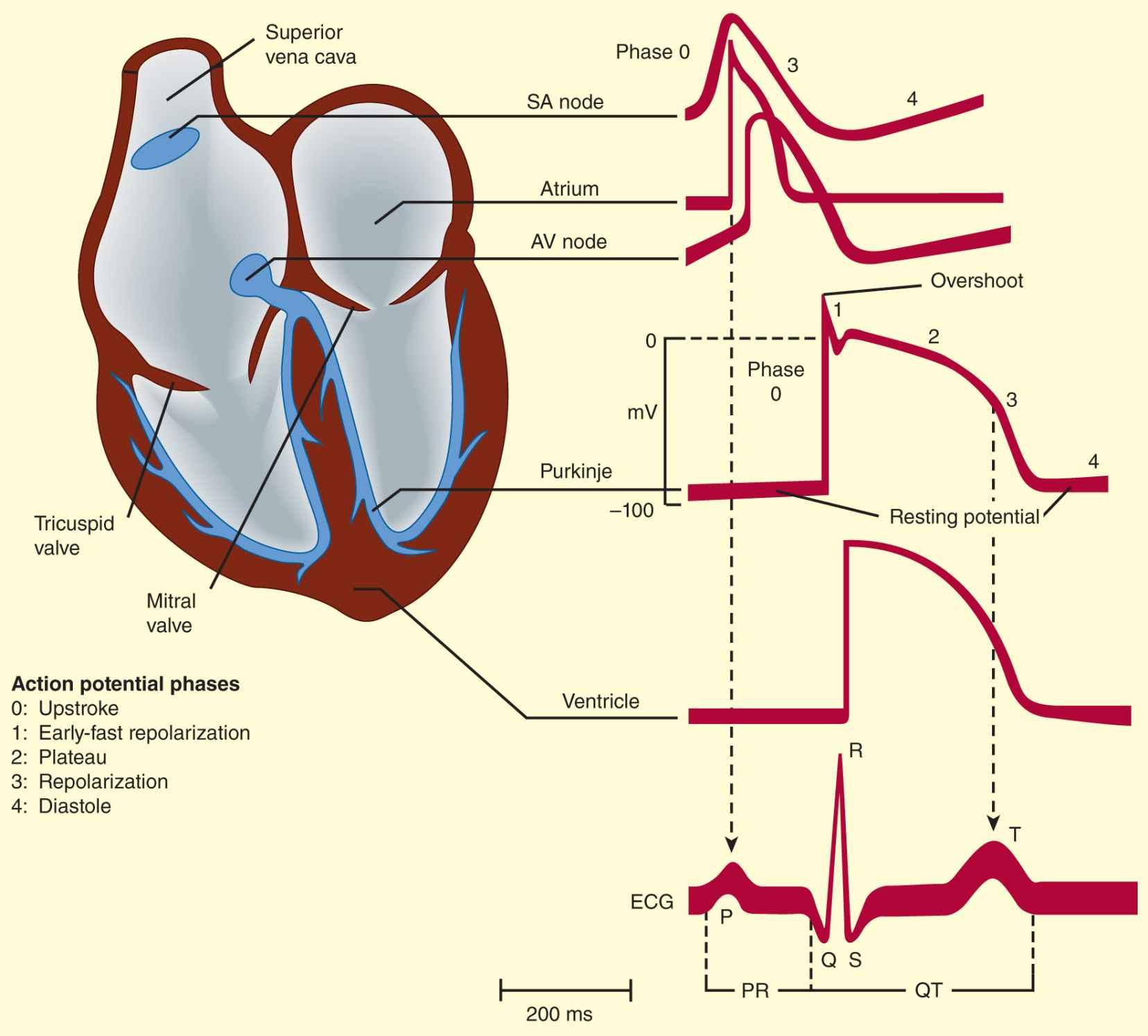 sinoatrial node diagram 3 phase socket wiring agents used in cardiac arrhythmias basicmedical key
