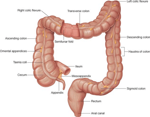Ileocecal Valve Anatomy Model