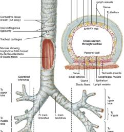 figure 21 6 anterior diagram of the trachea and major bronchi l left r right netter illustration from www netterimages com  [ 794 x 1163 Pixel ]