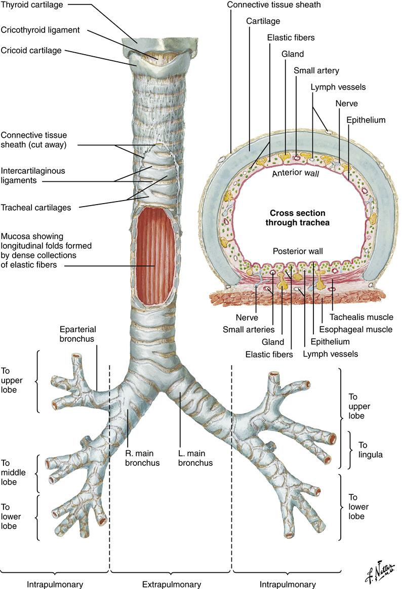 medium resolution of figure 21 6 anterior diagram of the trachea and major bronchi l left r right netter illustration from www netterimages com