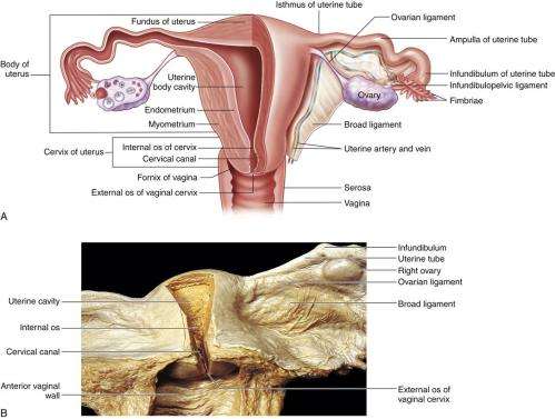 small resolution of a diagram shows left side of uterus and upper portion of the vagina and the left uterine tube and ovary in a frontal section