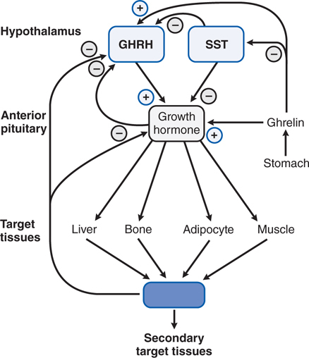 Introduction to Endocrinology: The Hypothalamic-Pituitary
