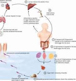 figure 57 5 life cycle of schistosomes  [ 1372 x 1261 Pixel ]