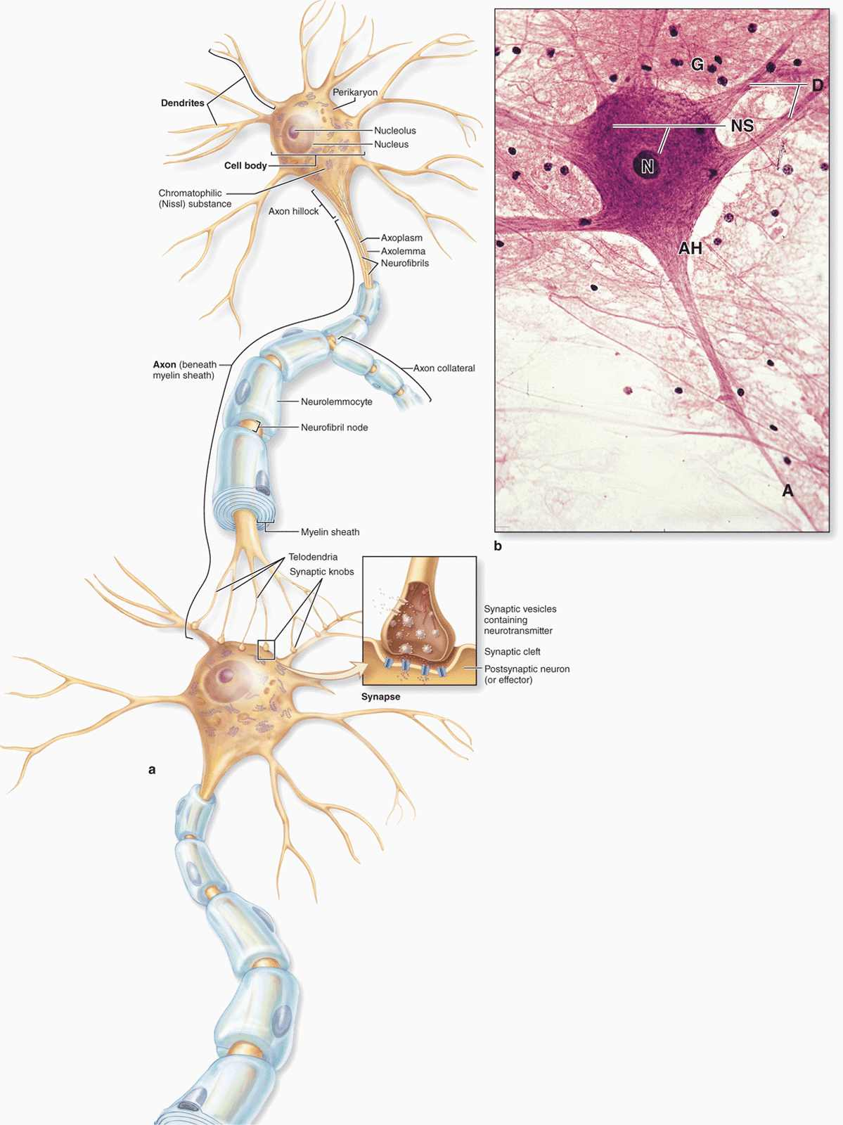 basic neuron diagram radio wiring for 1995 chevy silverado nerve tissue and the nervous system basicmedical key