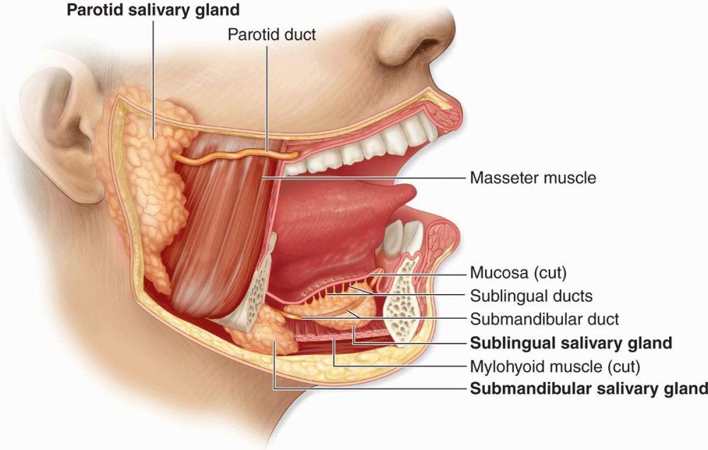 medium resolution of figure 16 1 major salivary glands