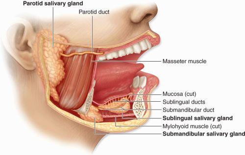 small resolution of figure 16 1 major salivary glands