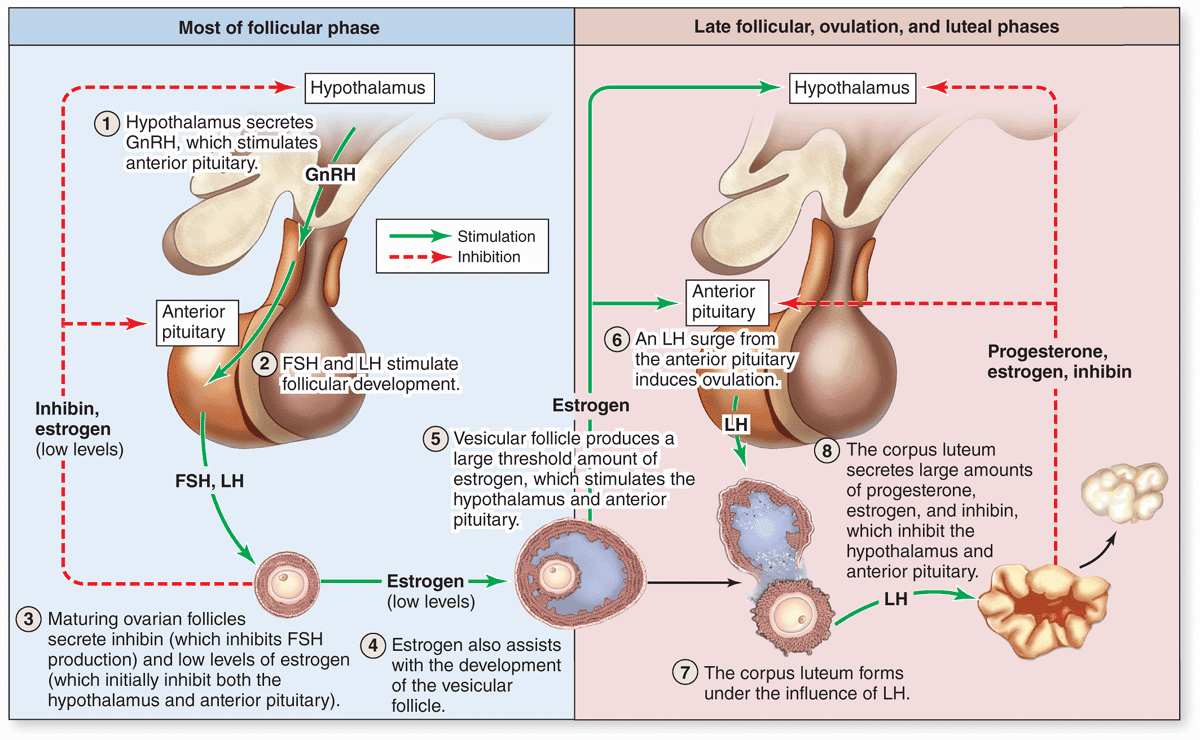hight resolution of in the days preceding ovulation the dominant vesicular follicle secretes higher levels of estrogen which stimulate more rapid pulsatile release of gnrh