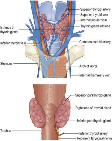 Thyroid Gland Basicmedical Key