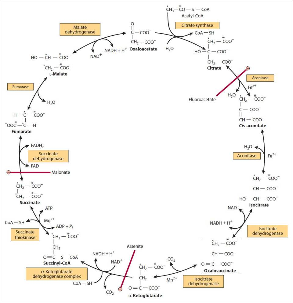 16 Pyruvate Dehydrogenase Complex And The Tca Cycle