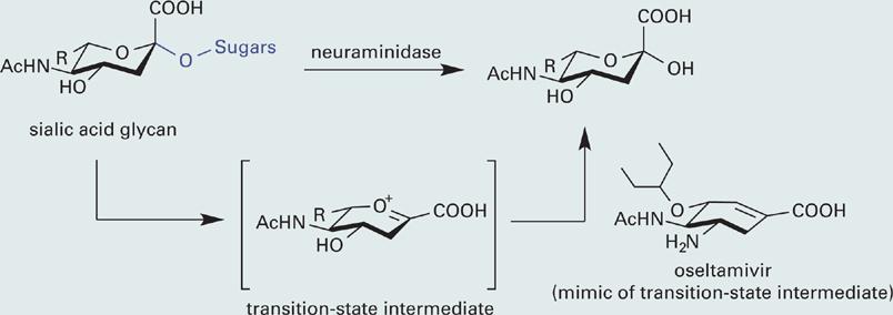 hemagglutinin diagram study   neuraminidase inhibitors and the influenza virus  study   neuraminidase inhibitors and the