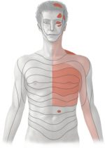 Organs of the Cardiovascular System and their Neurovasculature