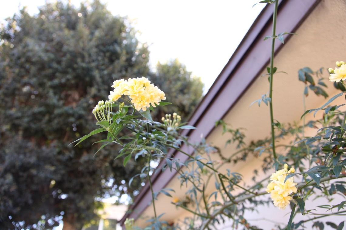 climbing rose (Rosa banksiae)