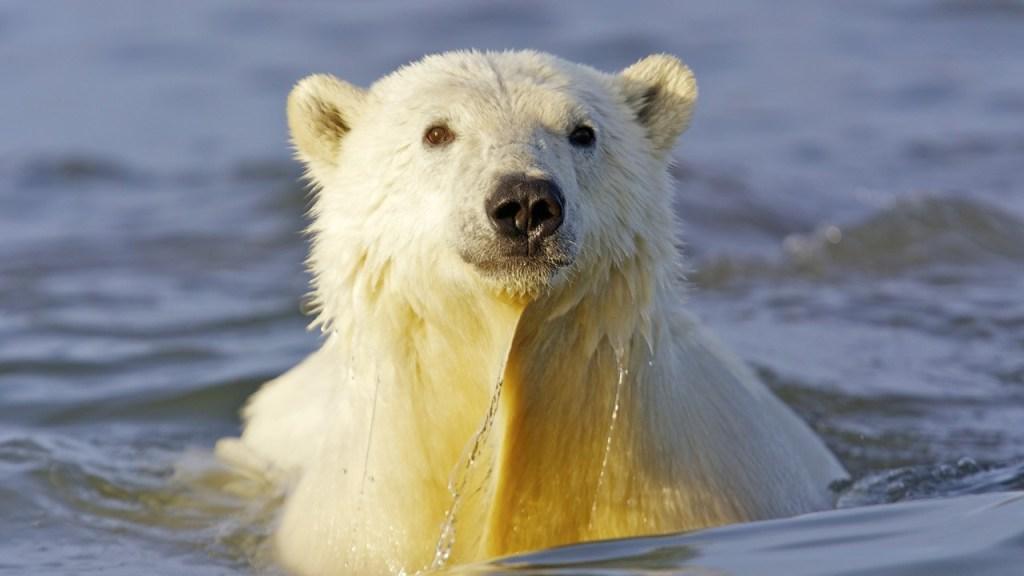 Polar bear in water