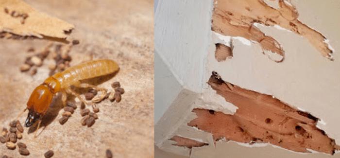 Gambar-Jenis-rayap-kayu-kering-vs-rayap-kayu-basah-dan-tanah.png?fit=700%2C325&ssl=1