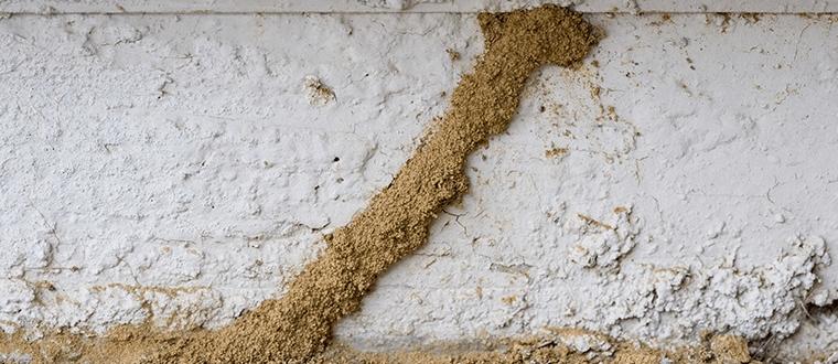 Karakteristik rayap tanah