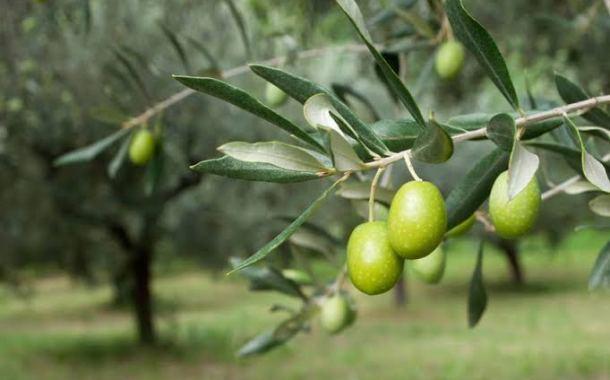 أغنية لشجرة الزيتون