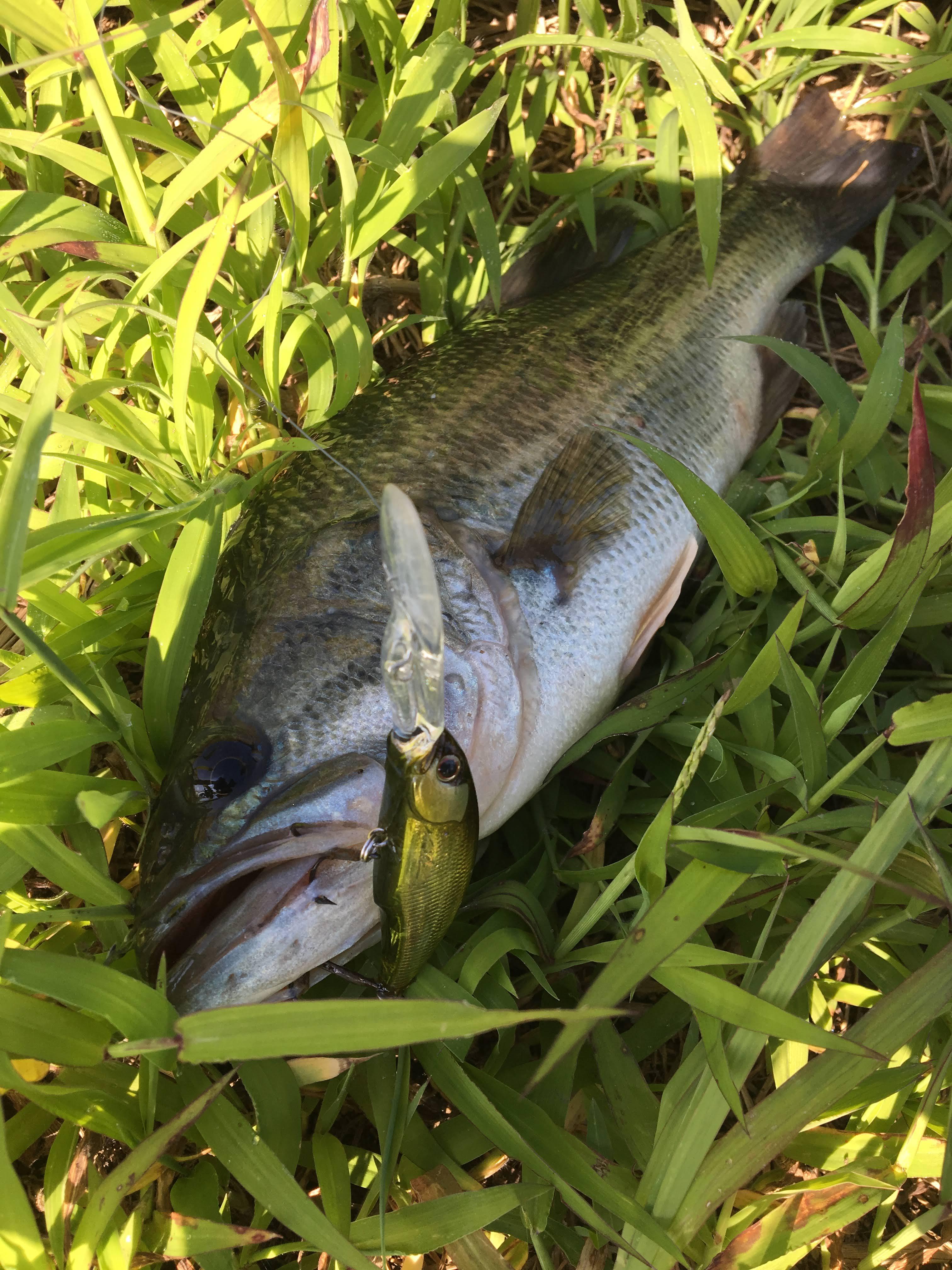 【電車釣行】印旛沼中央排水路 おかっぱりバス釣り 40ジャストを筆頭に7匹ゲット