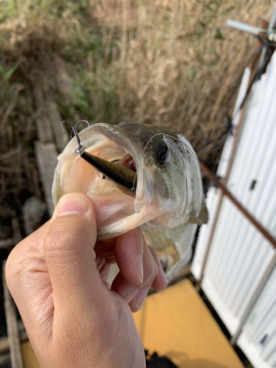 【電車釣行】まだいける?11月中旬の印旛沼中央排水路でオカッパリ【バス釣り】