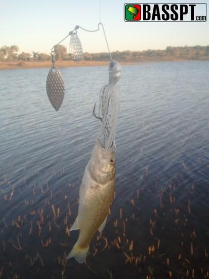 Uma das capturas de ontem numa massa de água de acesso livre (as outras forma semelhantes)