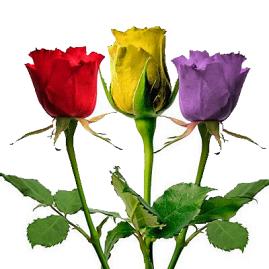 rosas-republicanas